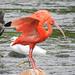 Corocoro Rojo - Photo (c) Jhon Velasquez, algunos derechos reservados (CC BY-NC)