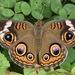 Mariposa Ojo de Venado Norteña - Photo (c) skitterbug, algunos derechos reservados (CC BY)