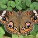 Common Buckeye - Photo (c) skitterbug, some rights reserved (CC BY)