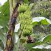 Plátano Malayo - Photo (c) Greg Lasley, algunos derechos reservados (CC BY-NC)