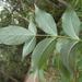Elderberry Panax - Photo (c) Nick Lambert, some rights reserved (CC BY-NC-SA)