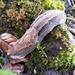 Anadenus yangtzeensis - Photo (c) Yan Cai, algunos derechos reservados (CC BY-NC)