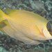 Masked Rabbitfish - Photo (c) Mark Rosenstein, some rights reserved (CC BY-NC-SA)