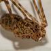Scytodes globula - Photo (c) Vicente Pantoja,  זכויות יוצרים חלקיות (CC BY-NC)