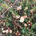 Eriogonum parvifolium - Photo (c) lchroman, algunos derechos reservados (CC BY-NC), uploaded by lchroman