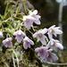 Stauntonia latifolia - Photo (c) Elizabeth Byers, algunos derechos reservados (CC BY-NC)