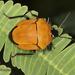 Stiretrus decemguttatus - Photo (c) mendezcla7, algunos derechos reservados (CC BY-NC)