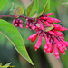 Purple Cestrum - Photo (c) Kinmatsu Lin, some rights reserved (CC BY-NC)