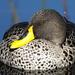 Anas undulata undulata - Photo (c) Colin Ralston, μερικά δικαιώματα διατηρούνται (CC BY-NC)