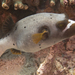 Blackspotted Puffer - Photo (c) Mark Rosenstein, some rights reserved (CC BY-NC-SA)