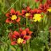 Sparaxis tricolor - Photo (c) fotoculus, algunos derechos reservados (CC BY-NC-SA)