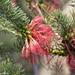 Melaleuca quadrifida - Photo (c) David McCorquodale, some rights reserved (CC BY)