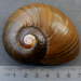 Paryphanta busbyi - Photo (c) memopob,  זכויות יוצרים חלקיות (CC BY-NC)