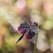 נפנפנית ססגונית - Photo (c) Jukka Jantunen,  זכויות יוצרים חלקיות (CC BY-NC)