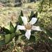 Rothmannia capensis - Photo (c) Troos van der Merwe, algunos derechos reservados (CC BY-NC)