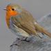 אדום חזה - Photo (c) Paul Lewis,  זכויות יוצרים חלקיות (CC BY-NC)
