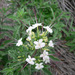 Clerodendrum ternatum - Photo (c) 116916927065934112165, alguns direitos reservados (CC BY-SA), uploaded by Matt Muir