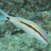 Dot-and-dash Goatfish - Photo (c) Mark Rosenstein, some rights reserved (CC BY-NC-SA)