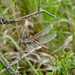 Tauriphila risi - Photo (c) HUGO DAVID CAVERZASI,  זכויות יוצרים חלקיות (CC BY-NC)