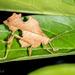 Typophyllum bolivari - Photo (c) Felix Fleck, algunos derechos reservados (CC BY-NC)