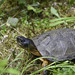 Wood Turtle - Photo (c) Elinor Osborn, some rights reserved (CC BY-NC)