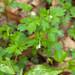 Phacelia ranunculacea - Photo (c) Melissa McMasters, algunos derechos reservados (CC BY)