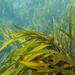 Phyllospora comosa - Photo (c) Wayne Martin, algunos derechos reservados (CC BY-NC)