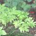 Actaea erythrocarpa - Photo (c) Vadim Prokhorov, algunos derechos reservados (CC BY-NC)
