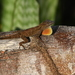 Dominican Graceful Anole - Photo (c) guylafond, some rights reserved (CC BY-NC)
