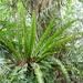 Asplenium nidus - Photo (c) Yaling Lin, algunos derechos reservados (CC BY-NC)