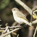 Common Chiffchaff - Photo (c) Julien Renoult, some rights reserved (CC BY)