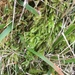 Brachythecium mildeanum - Photo (c) Paul Cook, algunos derechos reservados (CC BY-NC-ND)