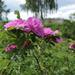 Rosa × majorugosa - Photo (c) Sergey Mayorov, algunos derechos reservados (CC BY-NC)
