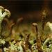 Cladonia botrytes - Photo (c) glebnsk, algunos derechos reservados (CC BY-NC)