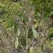 Cyclachaena xanthiifolia - Photo (c) Зеленкова Виктория, algunos derechos reservados (CC BY-NC)