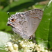 Lacey's Scrub-Hairstreak - Photo (c) Nick Block, some rights reserved (CC BY)