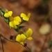 Aspalathus angustifolia angustifolia - Photo (c) wonderwalker, algunos derechos reservados (CC BY-NC)