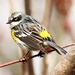 Yellow-rumped Warbler - Photo (c) JoAnne-Russo, some rights reserved (CC BY-NC)