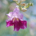 Desert Willow - Photo (c) Melody McClure, some rights reserved (CC BY-NC)