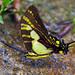 Mariposa Cometa Golondrina Naranja - Photo (c) Phil Kahler, algunos derechos reservados (CC BY-NC)
