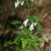 Aconitum stoloniferum - Photo (c) V.S. Volkotrub, algunos derechos reservados (CC BY-NC)