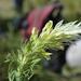 Melampyrum argyrocomum - Photo (c) Зеленкова Виктория, some rights reserved (CC BY-NC)