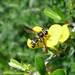 Wasp Flies - Photo (c) gailhampshire, some rights reserved (CC BY)