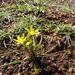 Gagea chlorantha - Photo (c) sharonhasday, algunos derechos reservados (CC BY-NC), uploaded by שרון חסדאי