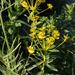 Euphorbia stepposa - Photo (c) Sergey Mayorov, osa oikeuksista pidätetään (CC BY-NC)