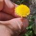 Coronidium monticola - Photo no rights reserved