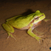 Lemon-yellow Tree Frog - Photo (c) Parham Beyhaghi, some rights reserved (CC BY-NC)
