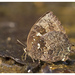 Many-tailed Oakblue - Photo (c) Firos AK, some rights reserved (CC BY)