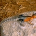 Agama caudospinosa - Photo (c) Roberto Sindaco, μερικά δικαιώματα διατηρούνται (CC BY-NC-SA)