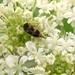 Mordellaria undulata - Photo (c) Vilseskogen, some rights reserved (CC BY-NC-SA)